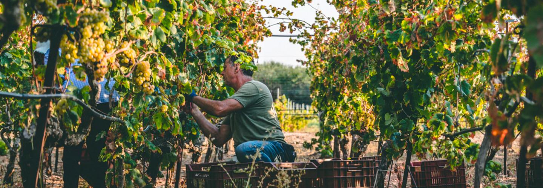Ekologisk vinodling – vägen framåt